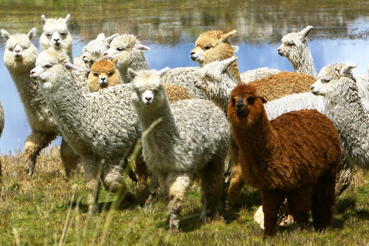 The history of Alpacas