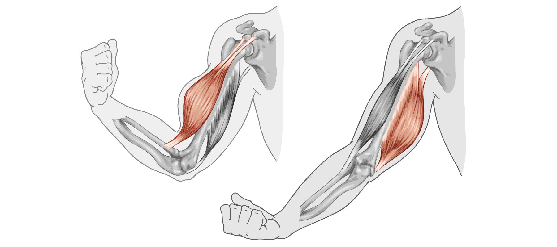 Muscle Bicep System