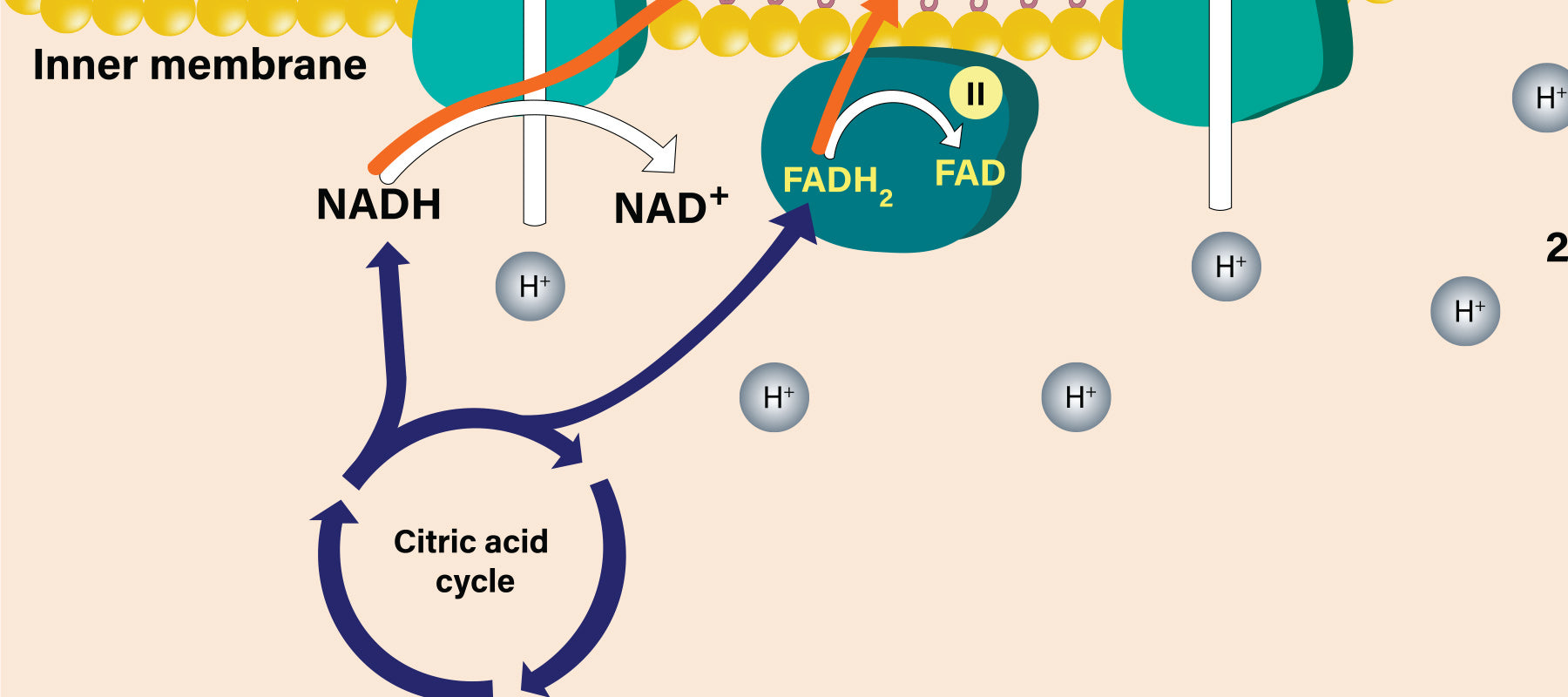 A Beginner's Guide to NAD+