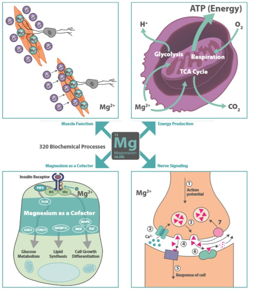 Magnesium Supplement Biochemical Process