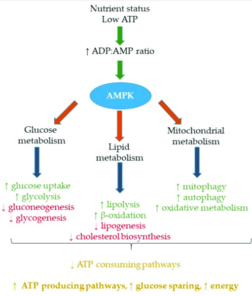 Nutritional Modulation of AMPK- Impact Metabolic Inflamation