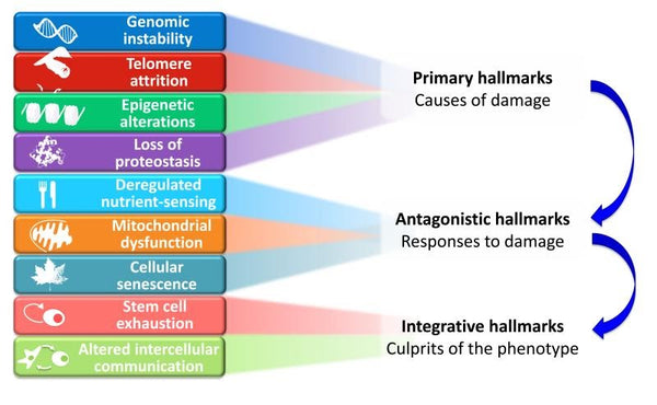Hallmarks of Aging In A Cell