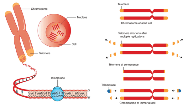 Telomere Length as a Marker of Biological Age
