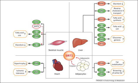SRT1 and other sirtuins in metabolism