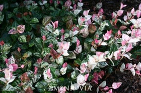 Snow-n-Summer Asiatic Jasmine 2 Gal
