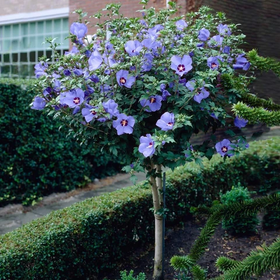 Blue Satin Rose of Sharon 15G/patio