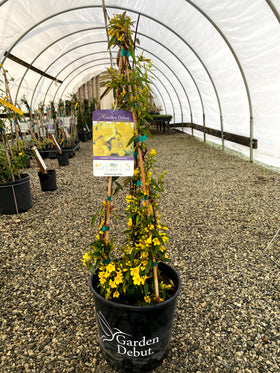 Sunseeker Carolina Jessamine 3 Gal
