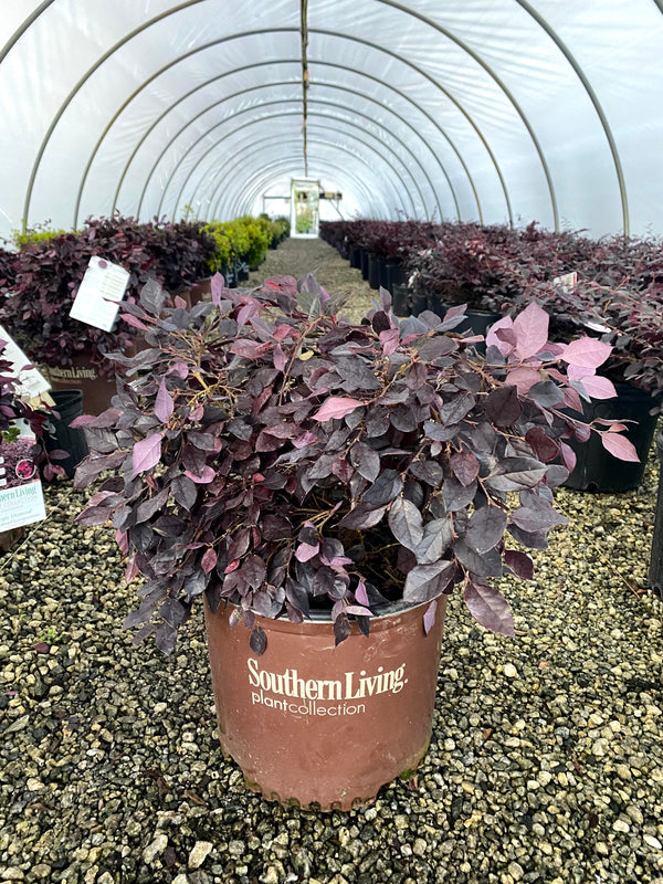 Purple Diamond Loropetalum 3 Gal