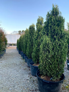 Degroot's Spire Arborvitae 5-6' B&B