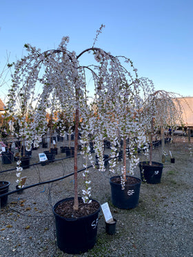 Snow Fountain Weeping Cherry 20/30 Gal