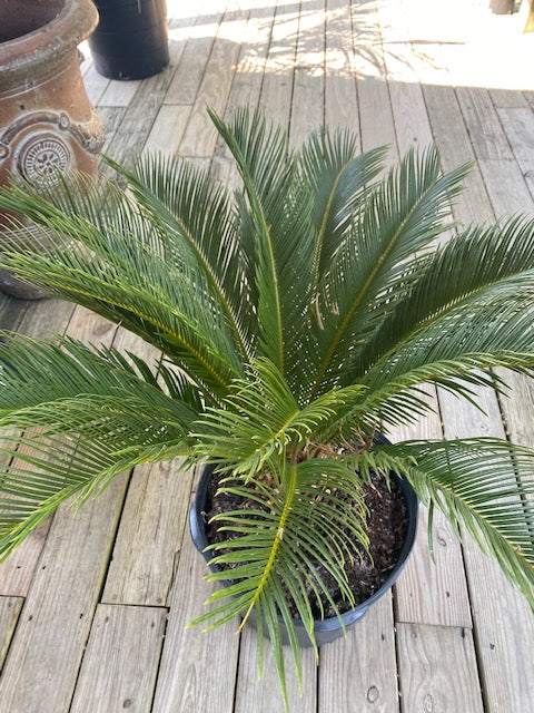 King Sago Palm 7 Gal