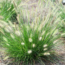Cassian Fountain Grass 1 Gal