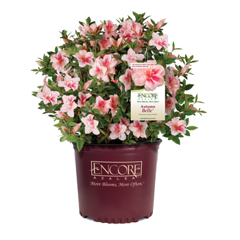 Autumn Belle Encore Azalea 2&3 Gal