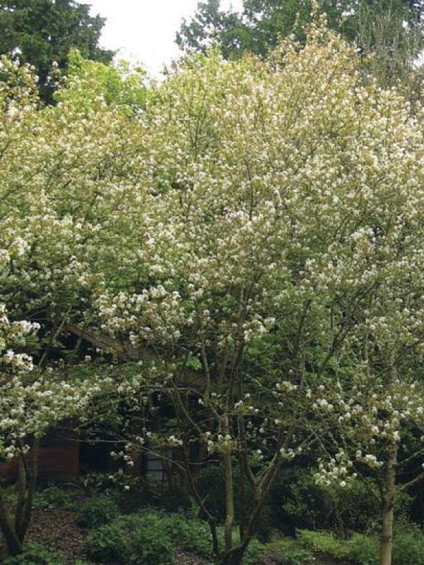Autumn Brilliance Serviceberry 15 Gal