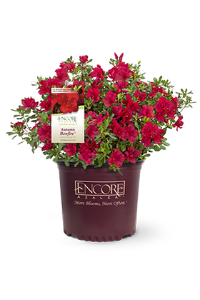 Autumn Bonfire Encore Azalea 2&3 Gal