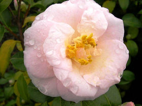 April Blush Camellia Jap 3 Gal