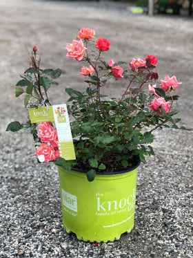Coral Knockout Rose 2&3 Gal