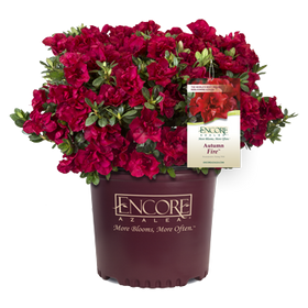 Autumn Fire Encore Azalea 2&3 Gal