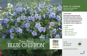Blue Chiffon Rose of Sharon 5G/patio