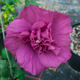 Magenta Chiffon Rose of Sharon 2 Gal