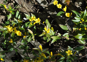 Twice Blooming Carolina Jessamine 2 Gal