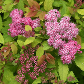 Double Play Big Bang Spirea 3 Gal