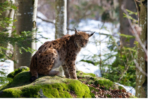 The Eurasian Lynx can be found throughout Europe's forests