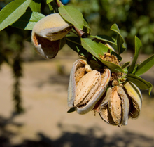 Load image into Gallery viewer, Almonds growing on a tree