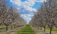 Load image into Gallery viewer, Almond grove in bloom