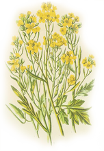 Load image into Gallery viewer, Mustard Flowers Illustration