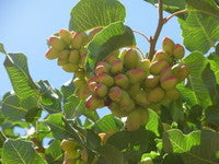 Load image into Gallery viewer, Pistachios Growing on Tree