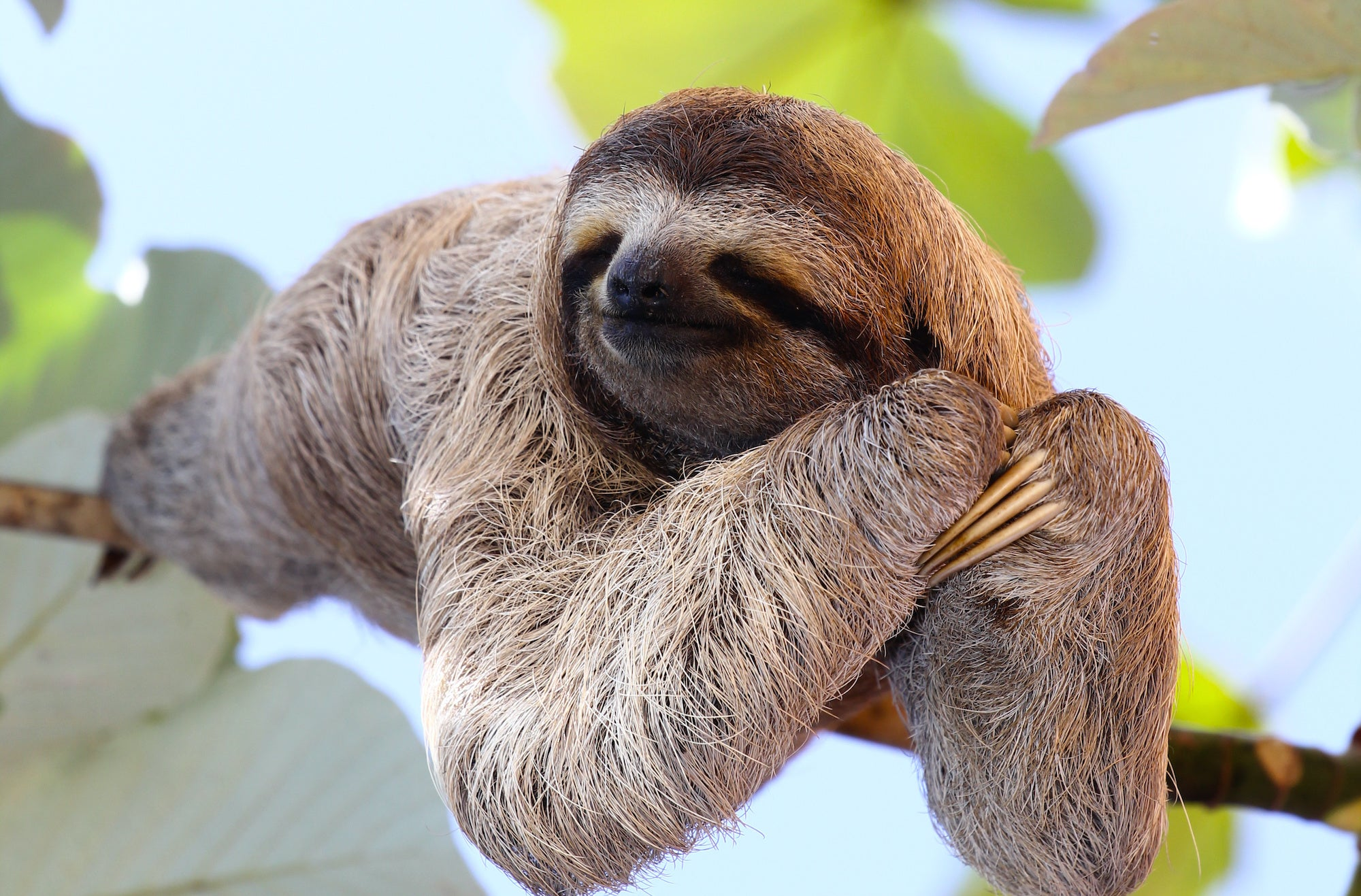 Sloth smiling in rainforest on branch