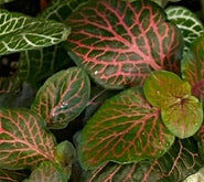 Load image into Gallery viewer, Fittonia - Nerve plant 5.5cm