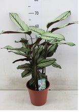 Load image into Gallery viewer, Calathea White Star - 19cm pot