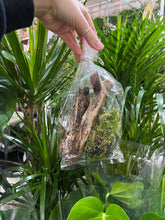 Load image into Gallery viewer, DIY Large Bottle terrarium - Calathea mix 40x19cm