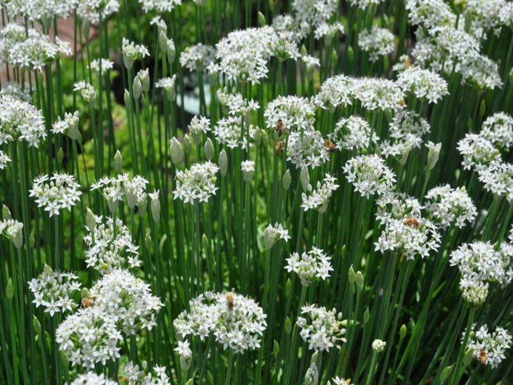 Garlic chives (Allium tuberosum) - UrbanMali Network