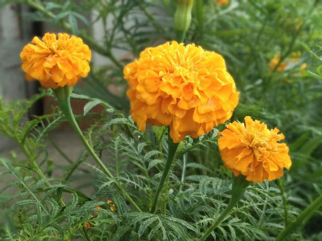 Marigold (Tagetes sp) - UrbanMali Network