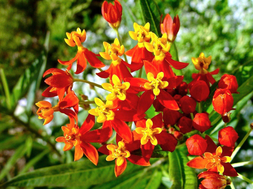Butterfly Milkweed (Asclepias curassavica) - UrbanMali Network