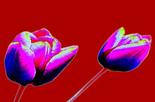 Load image into Gallery viewer, Red tulip digital flowers pop art print.