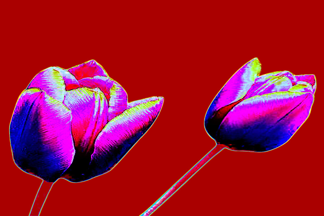 Red tulip digital flowers pop art print.