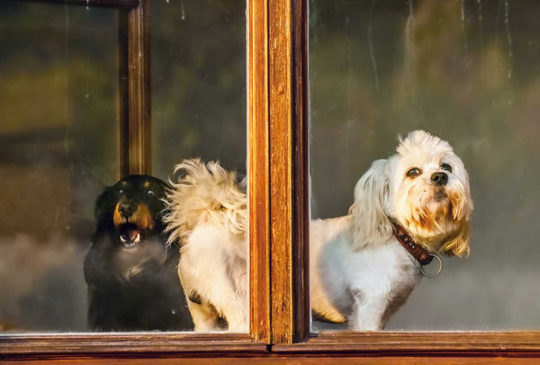 Reasons Dogs Window Bark and How to Improve the Behavior