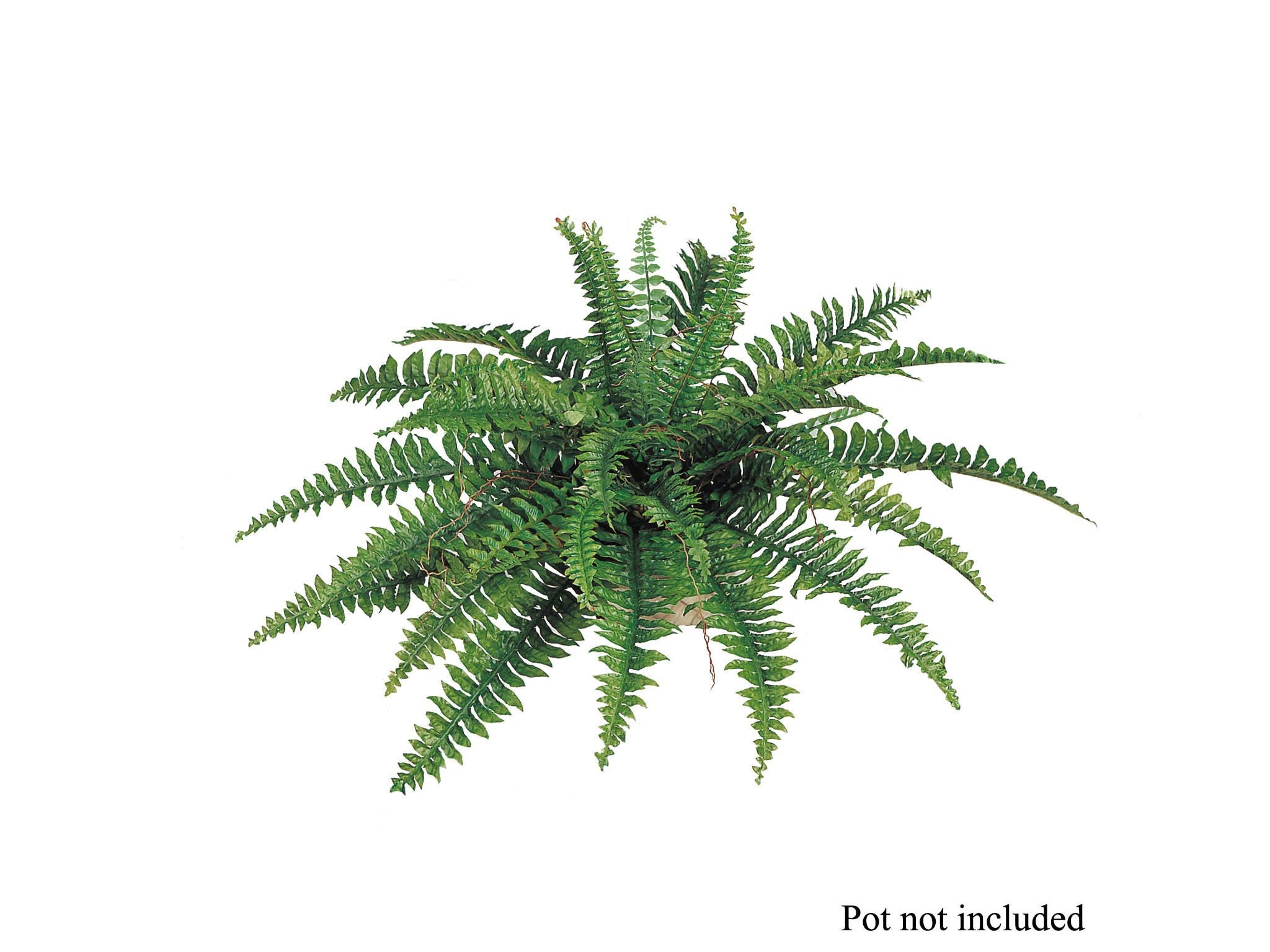 "Boston Fern Plant 34"" Wide 35 Fronds"