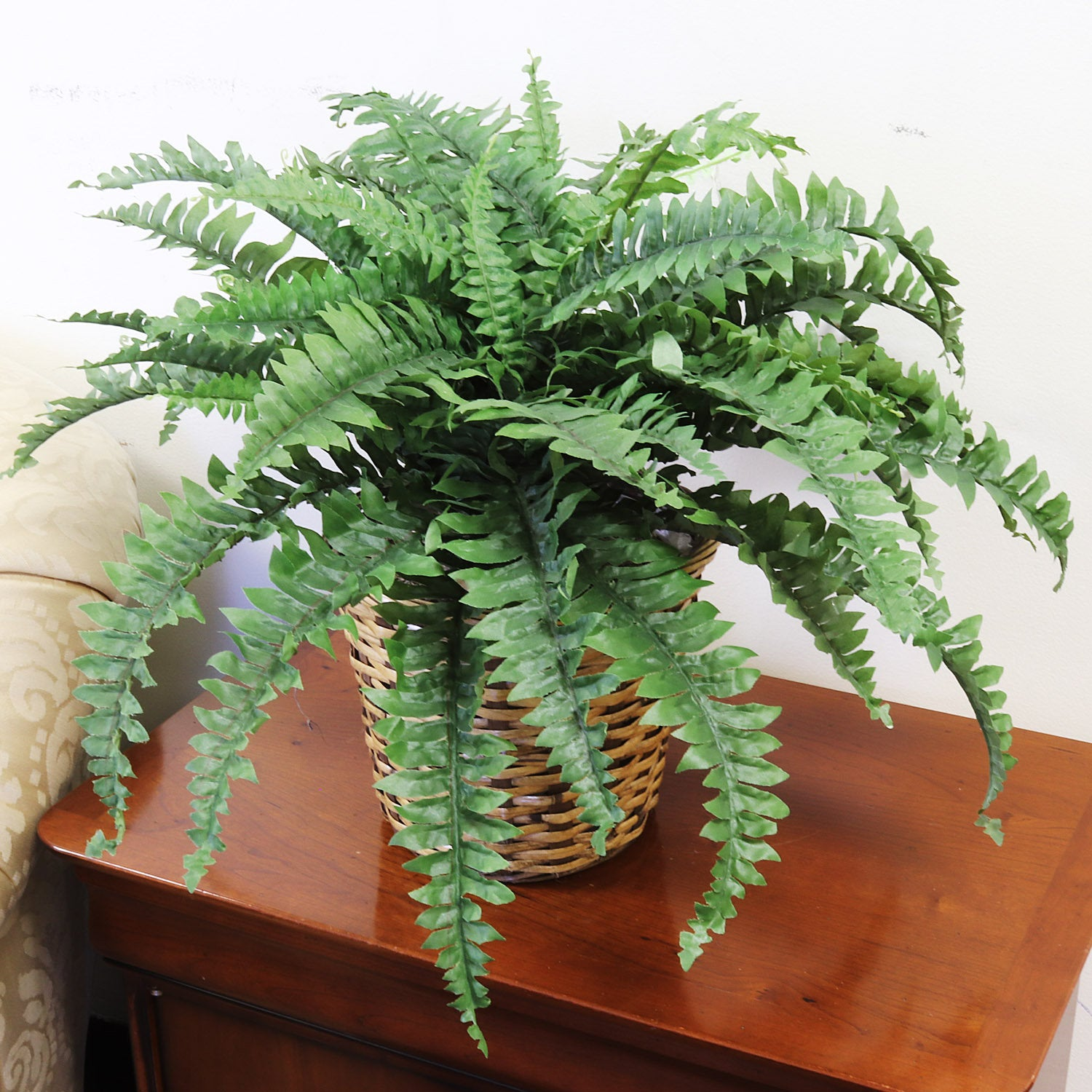"Boston Fern Plant 34"" Wide 50 Fronds"