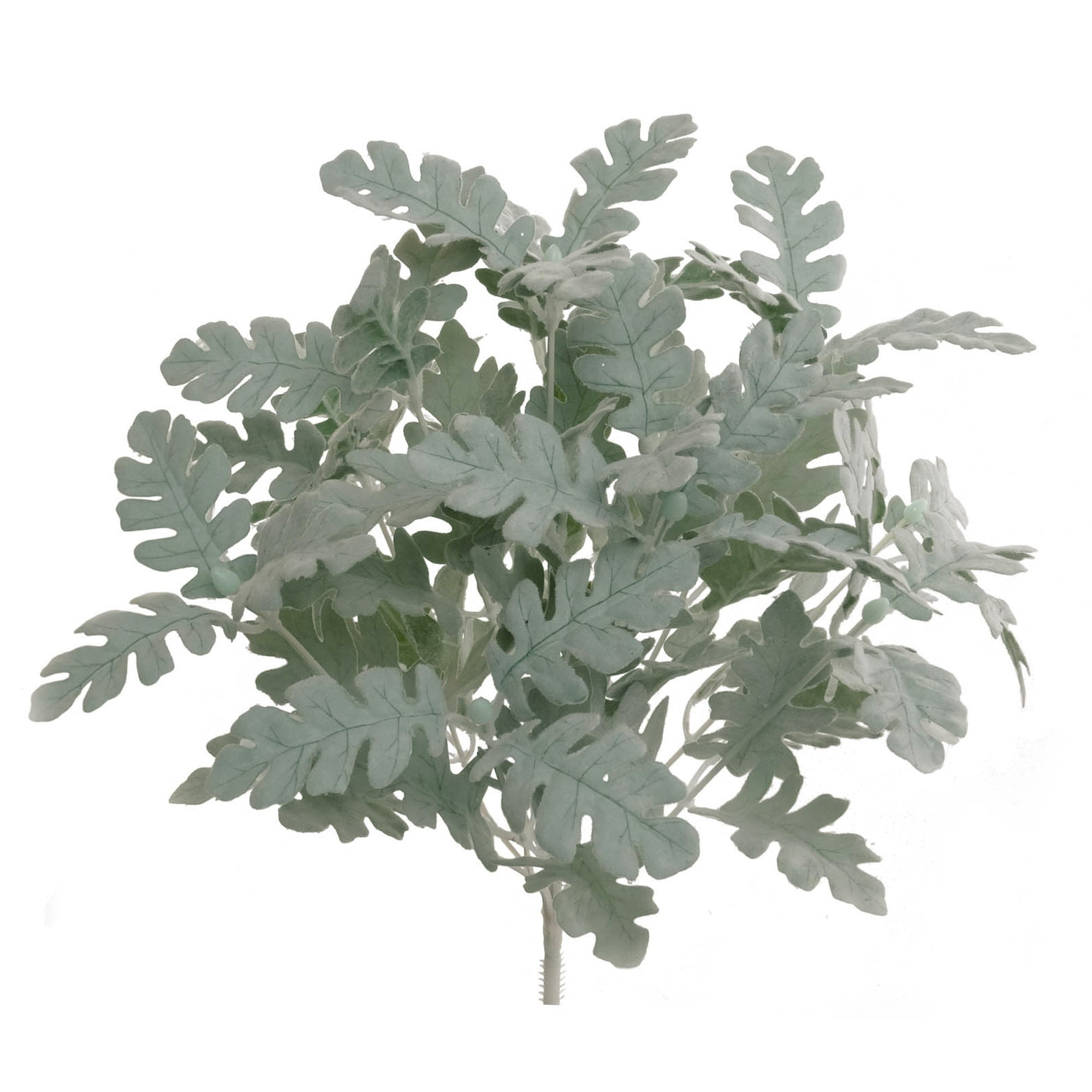 Dusty Miller Bush 16""