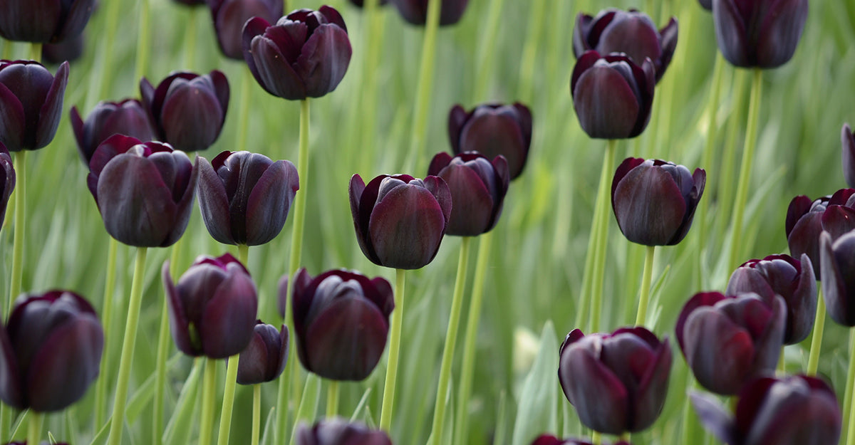 Dark purple tulips in a field