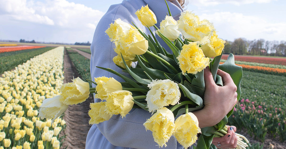 A bouquet of yellow tulips held by a person. In a flower field