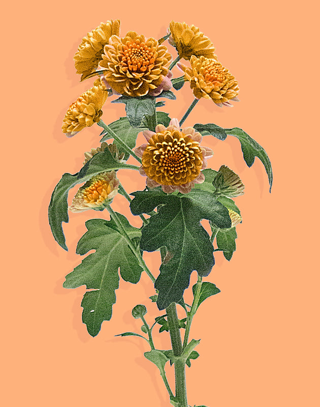 chrysanthemum_autumn-stems