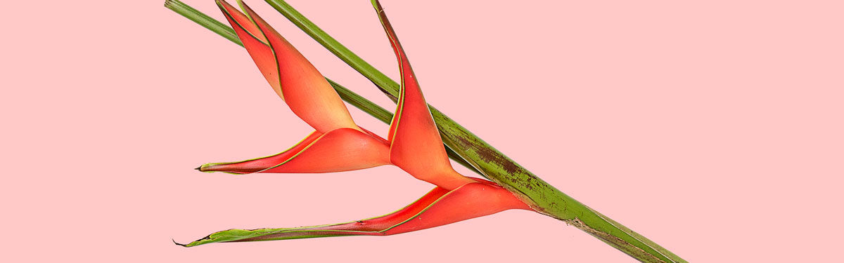 summer-heliconia