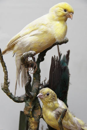 Taxidermy birds