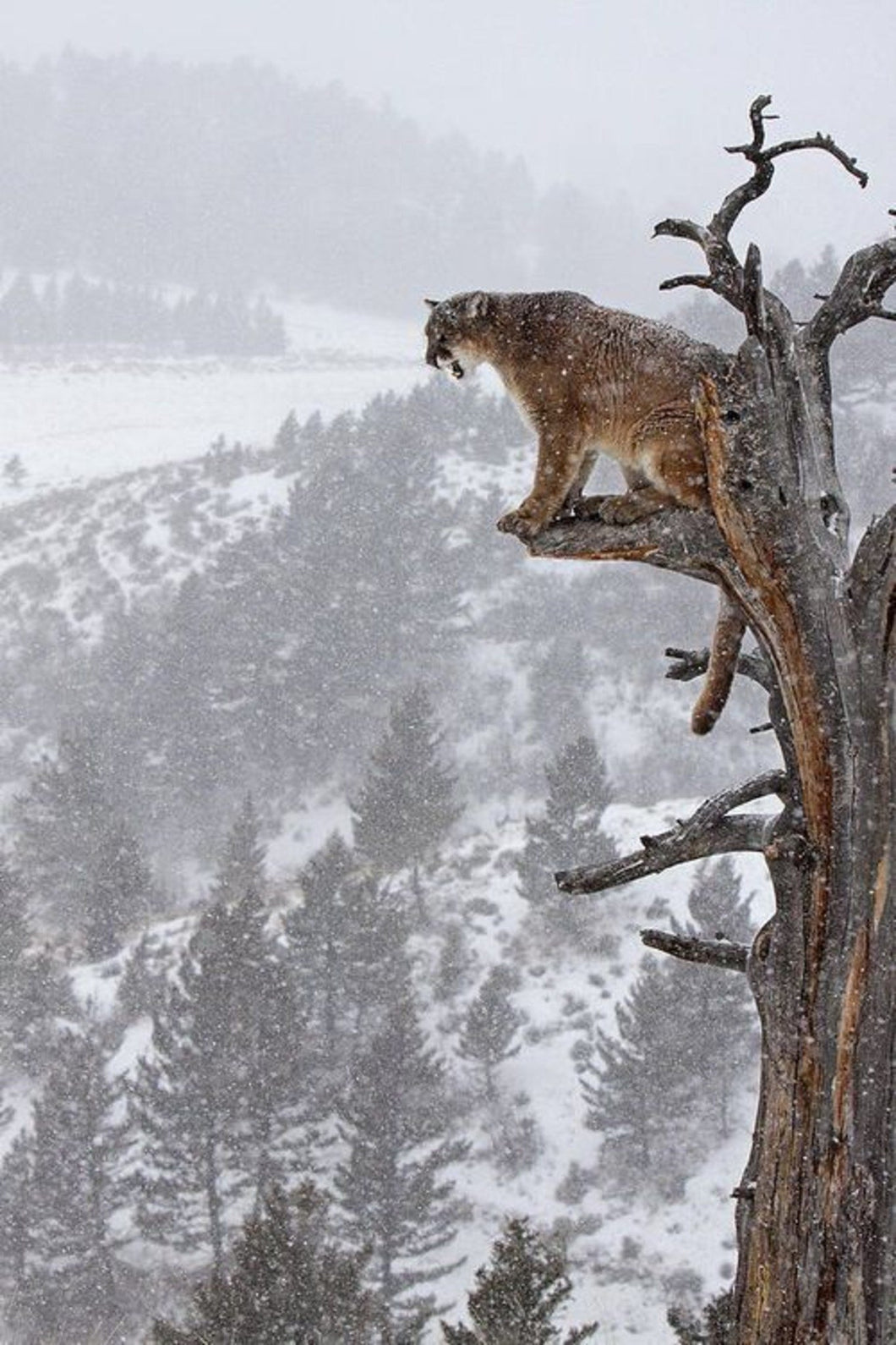 Mountain Lion on Tree Paint by Diamonds